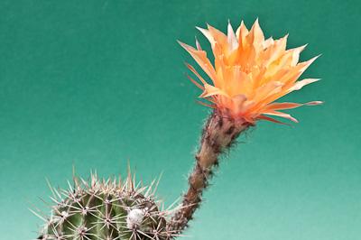 Echinopsis Nibelungenschatz