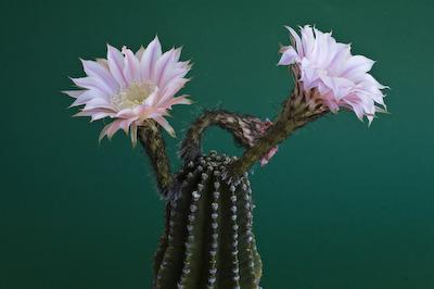 Echinopsis-Hybride Summertime 299
