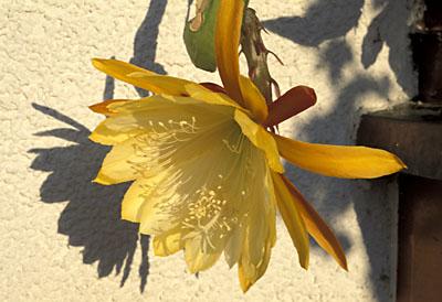 Epiphyllum Blüte