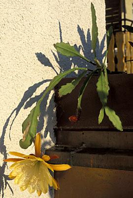 Epiphyllum Hybride