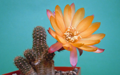 Chamaecereus Hybride Flic-Flac
