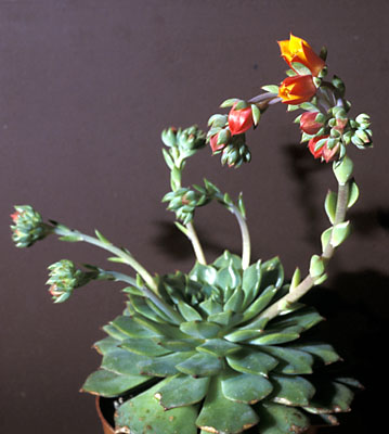 Echervia mit Blüten