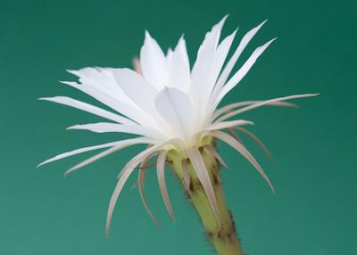 Blüte Echinopsis ancistropora ssp. arachnacantha