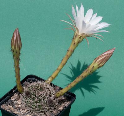 Echinopsis ancistropora ssp. arachnacantha