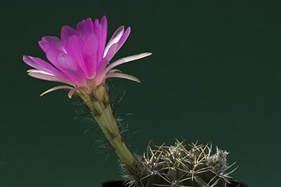 Echinopsis cardenasiana