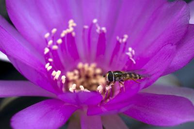 Blüte mit Schwebefliege