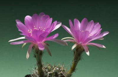 Echinopsis cardenasi
