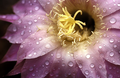Kaktusblüte - Echinopsis