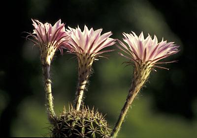 Echinopsis oxygona Hybride