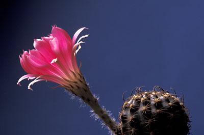 Kaktus - Lobivia winteriana