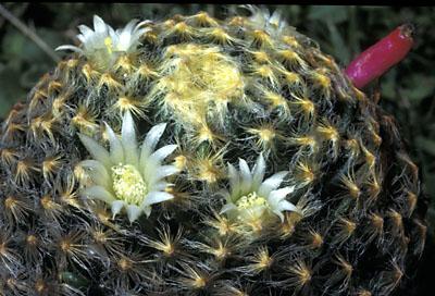 Mammillaria schiedeana