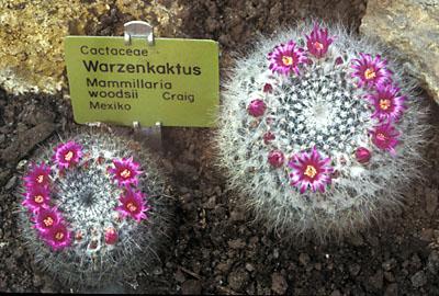 Mammillaria woodsii