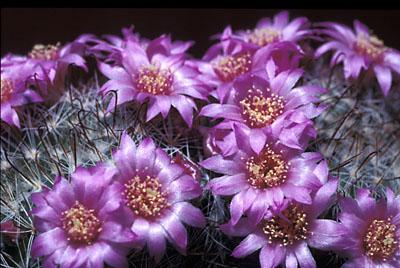 Mammillaria zeilmannian