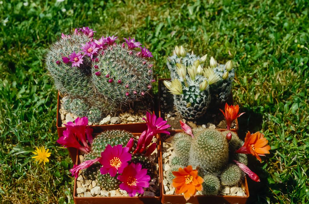 Kakteen mit Blüten