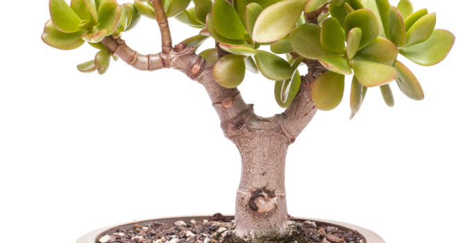 Crassula ovata als Bonsai Baum