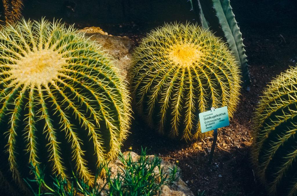 Echinocactus grusonii im botanischen Garten Wilhelma