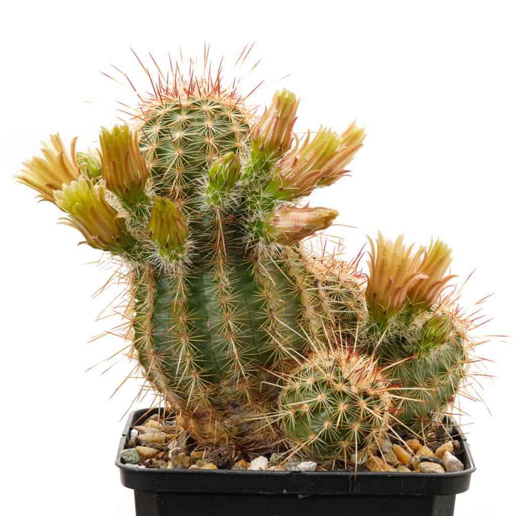 Echinocereus viridiflorus ssp. chlorethus