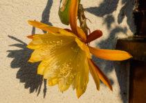 Epiphyllum Blüte gelb