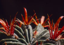 Ferocactus latispinus