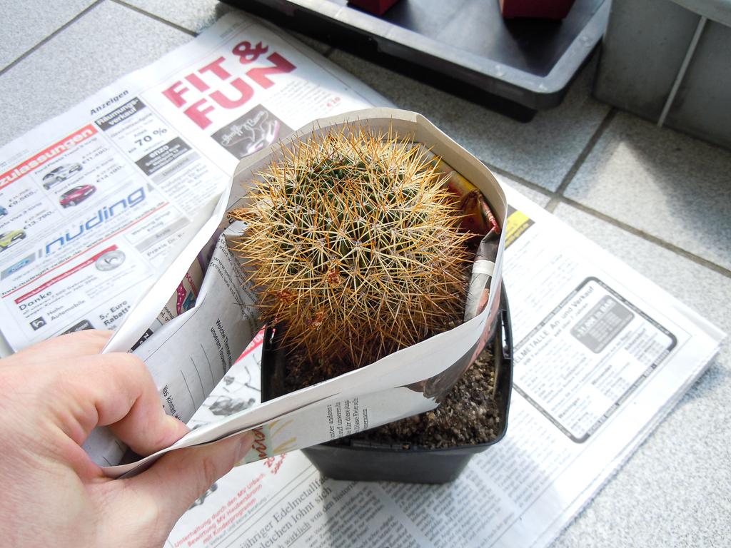 Kaktus mit Zeitung herausheben