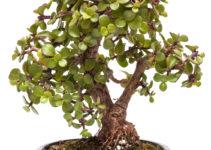 Jadebaum (Portulacaria afra) als Bonsai