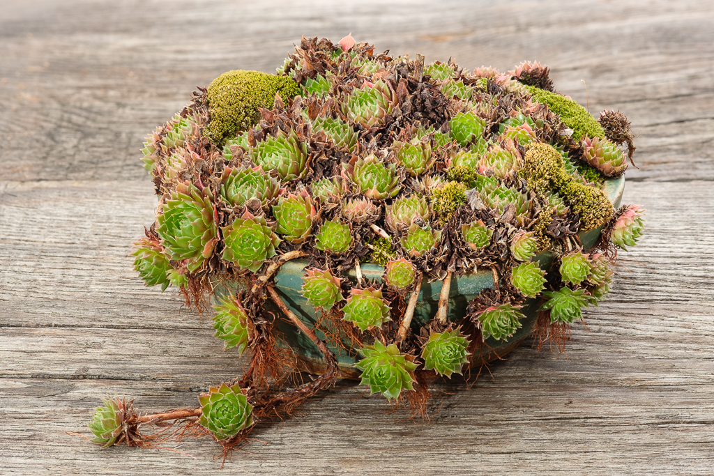 Hauswurz (Sempervivum) in einer Schale
