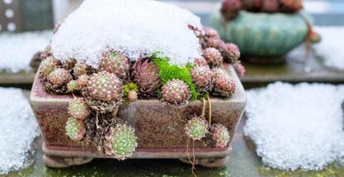 Sempervivum im Winter mit Schnee