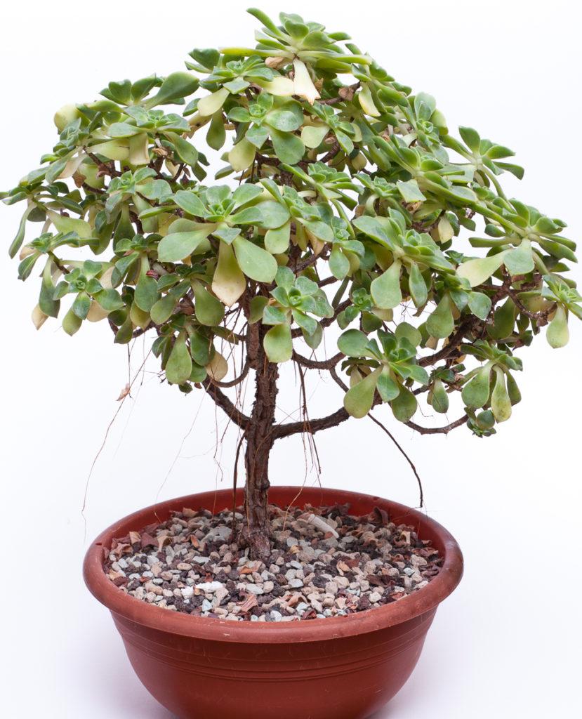 Aeonium Hybride Pale-Green