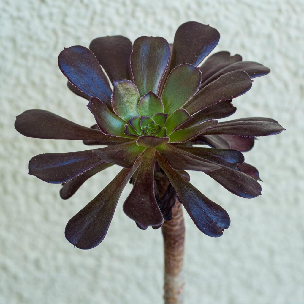 Aeonium rubrotinctum