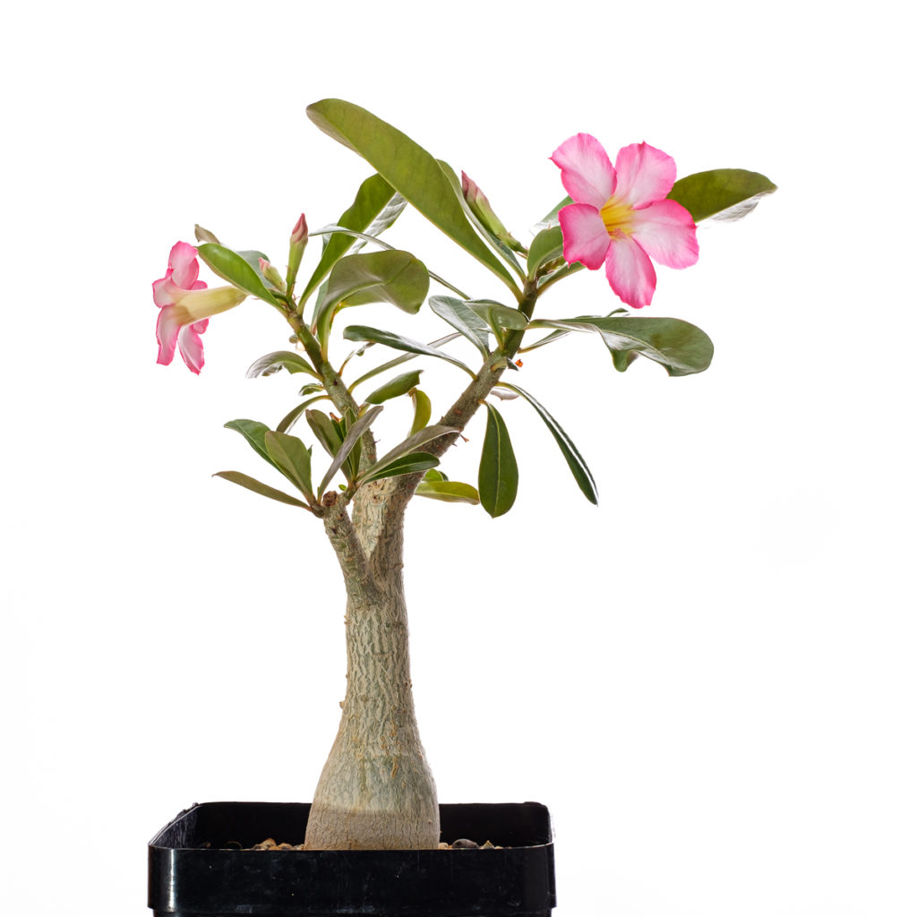 Wüstenrose mit Blüten