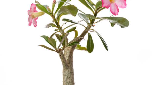 Adenium – Wüstenrose