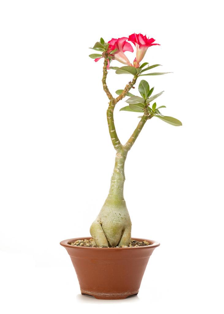 Wüstenrose (Adenium) mit Blüte