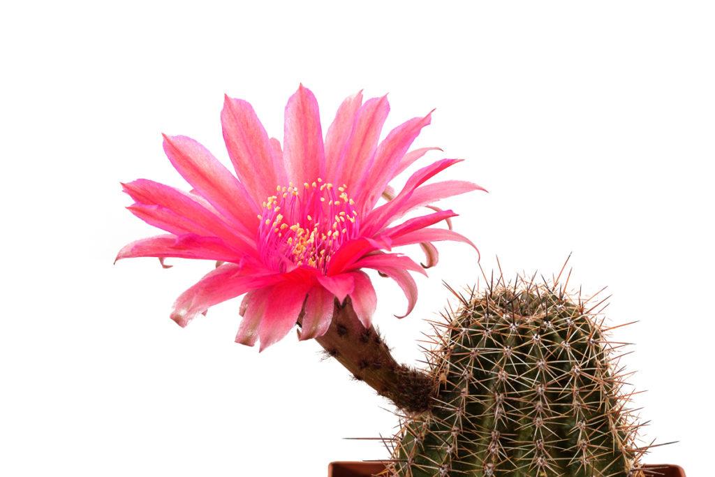 Echinopsis Hybride 334 Rubin von Muggensturm