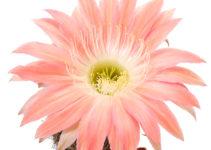 Echinopsis Hybride 366 Andenken an Fric
