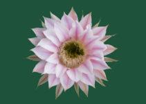 Echinopsis Hybride 299 Summertime