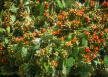 Opuntien mit roter Blüte