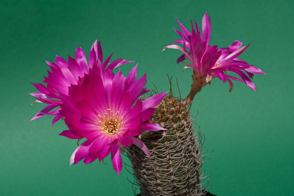 Lobivia winteriana Blüten